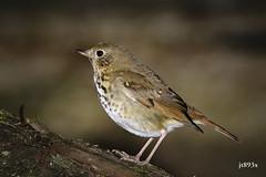 Hermit Thrush (jt893x) Tags: 150600mm bird catharusguttatus d500 hermitthrush jt893x nikon nikond500 sigma sigma150600mmf563dgoshsms songbird thrush thesunshinegroup coth alittlebeauty coth5 ngc npc