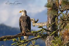 On Lookout (NikonDigifan) Tags: eagle raptor birdwatching bird nature naturephotography naturesfinest wildlife wildlifephotography idaho lakecoeurdalene pnw pacificnorthwest nikond500 nikon20050056 mikegassphotography