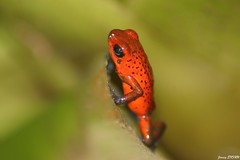 Grenouille des fraises - Dendrobates pumilio - Strawberry Poison Frog (jimmyenfru) Tags: grenouille grenouilles photo photography canon eos 800d macro tamron 70 300 animal animals animaux photographie frog frogs costa rica