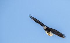 Bald Eagle flyby..... (Kevin Povenz Thanks for all the views and comments) Tags: 2016 april kevinpovenz westmichigan michigan ottawa ottawacounty ottawacountyparks grandravinesnorth canon7dmarkii sigma150500 nature bird baldeagle eagle earlymorning birdsofprey fly flight outsode outdoors bluesky wings