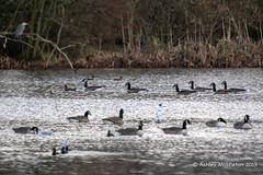 IMG_0313718 (Ashley Middleton Photography) Tags: coatewatercountrypark swindon animal bird canadagoose england europe goosegeese greyheron heron unitedkingdom wiltshire