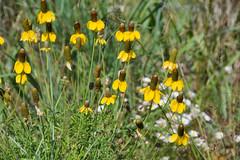 DSC33_23528 (heartinhawaii) Tags: sunflowers wildsunflowers yellowflowers wildflowers flora nature adamscounty colorado summer nikond3300