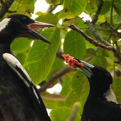 20190102_2419_1D3-400 Magpie feeding young (002/365) (johnstewartnz) Tags: canon canonapsh apsh eos 1dmarkiii 1d3 1dmark3 1d 1dmkiii 1dmk3 1diii 400mm 400 canonef400mmf56 bird birds birdsfeeding magpie gymnorhinatibicen 002365 day002 squarecrop onephotoaday oneaday onephotoaday2019 365project project365 100canon cracticustibicen