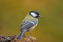 Great Tit D85_6998.jpg (Mobile Lynn) Tags: nature greattit birds tits bird fauna oscines parusmajor passeri passeriformes songbird songbirds tit wildlife coth specanimal coth5 ngc npc
