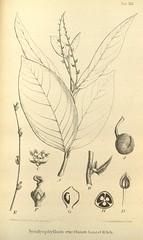 n647_w1150 (BioDivLibrary) Tags: botany melanesia papuanewguinea missouribotanicalgardenpeterhravenlibrary bhl:page=500576 dc:identifier=httpsbiodiversitylibraryorgpage500576 artist:name=gertrudbartusch