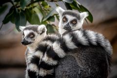Lemur Snuggle (helenehoffman) Tags: lemur africarocks wildlife prosimian primate nature sandiegozoo lemurcatta ringtailedlemurs madagascar animal conservationstatusendangered specanimal