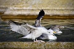 Gabian 1 (thierrybalint) Tags: oiseau bird gabian parc borely marseille eau water nikon nikoniste balint thierrybalint oiseaudemer ailes wings bassin barbotage basin wading