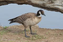 Cackling Goose (aaabela) Tags: anatidae anseriformes aves branta brantahutchinsii cacklinggoose california chordata oceanomemorialpark sanluisobispocounty bird hutchinsii