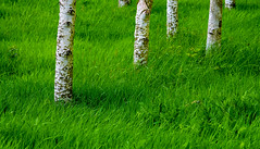 White trees, green grass (maytag97) Tags: theoregongarden maytag97 nikon d750 saturation green tree trunk white bark aspen grass saturated oregon garden trees background grove nature forest beauty pattern natural looking wood vertical branch populus beautiful snow eyes blue photo texture spring season