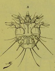 This image is taken from Page 130 of Les acariens parasites [electronic resource] (Medical Heritage Library, Inc.) Tags: acari arachnid vectors wellcomelibrary ukmhl medicalheritagelibrary europeanlibraries date1892 idb20406186