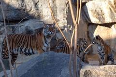 Die ganze Familie (Ria Trouw) Tags: tiger sumatratiger jungtier tierparkberlin tierkinder tierpark berlin tiere säugetiere