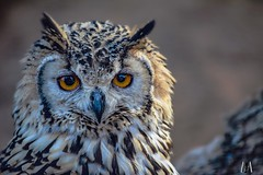 Spotted Eagle Owl,  Addo, South Africa (SuzieAndJim) Tags: suzieandjim naturephotography nature africa southafrica addoelephantpark addo eagleowl bird raptor owl spottedeagleowl