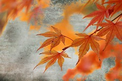 (Mah Nava) Tags: ahorn maple japanesemaple texture