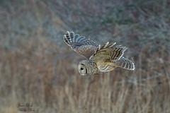 Barred Owl (Jamie Lenh Photography) Tags: nature wildlife owls barredowl ontario canada inflight jamielenh
