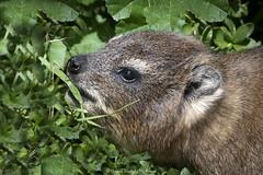 Rock hyrax (Procavia capensis) (Hernan Linetzky Mc-Manus) Tags: capetown southafrica wild linetzky ciudaddelcabo