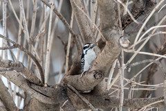 arcadia2019-87 (gtxjimmy) Tags: nikond7500 nikon d7500 tamron 150600mm arcadiawildlifesanctuary massaudubon audubonsociety easthampton massachusetts winter birds woodpecker hairywoodpecker