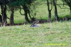 Killer Strike #3 (mgkphotokerry) Tags: hawk kestrel birdsofprey birds birdwatchireland wildbirds irishbirds irishwildlife irishnature mgkphotokerrycom michaelgkenny killorglin kerry countykerry wildatlanticway prey