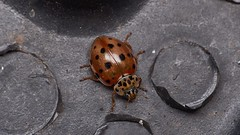 cream-streaked ladybird, Harmonia quadripunctata (David_W_1971) Tags: jow2018 coleopteracoccinellidae raynox dcr250