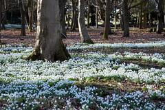 Snowdrops in Attingham Park (Seventh Heaven Photography **) Tags: attingham park shrewsbury shropshire snowdrops white nikon d3200 woods forest trees carpet galanthus amaryllidaceae