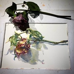 Day 1196. The #mfa201840rosepainting #painting for today. #watercolour #watercolourakolamble #sketching #stilllife #flower #art #fabrianoartistico #hotpress #paper #dailyproject (akolamble) Tags: mfa201840rosepainting painting watercolour watercolourakolamble sketching stilllife flower art fabrianoartistico hotpress paper dailyproject
