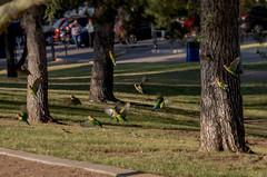 Peachfaced Lovebirds in the park (utski7) Tags: peachfacelovebirds lovebirds kiwanispark tempeaz fall2018 november2018 birds feralparrots arizona valleyofthesun