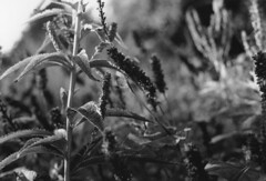 Analog black and white  2 (Nika Polovina) Tags: flowers nature beauty unitedkingdom ipswich hollywelspark university blackandwhitephotography analogphotography analog photography