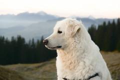 Our black-eyed boy (balu51) Tags: morgenspaziergang morgen früh kalt frostig hund kuvasz ungarischerhirtenhund graubünden surselva oktober 2018 copyrightbybalu51