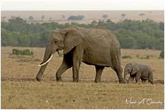 Following Mamma! (MAC's Wild Pixels) Tags: followingmamma elephant africanelephant africanbushelephant loxodontaafricana motherbaby baby animal mammal wildlife africanwildlife wildafrica wildanimal wildlifephotography outdoors outofafrica safari gamedrive savannahplains nature naturephotography masaimara maasaimaragamereserve kenya macswildpixels poaching tusks ivory endangeredspecies criticallyendangered coth alittlebeauty coth5 ngc npc fabuleuse