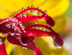 Flowers in drops on flowers (LSydney) Tags: droplet waterdrops refraction macro grevillea daisy
