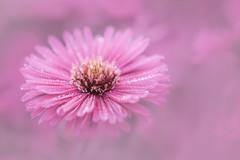 pink lady (christophe.laigle) Tags: rose christophelaigle fleur macro nature flower fuji drops pink pluie xpro2 xf60mm gouttes