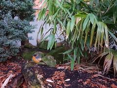 Waddesdon Manor (DarloRich2009) Tags: snowycrownedrobinchat cossyphaniveicapilla waddesdonmanor waddesdon bucks buckinghamshire nationaltrust aylesburyvale valeofaylesbury aylesbury