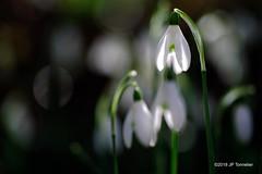 Perce-neige 2018 (jpto_55) Tags: fleur perceneige peoxi macro fuji fujifilm xe1 hautegaronne france om lens om50mmf2macro