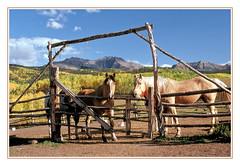 I've Captured Their Attention - Colorado, 1991 (sjb4photos) Tags: colorado coloradorockies sanjuanmountains corral horses epsonv500 fence fencefriday hff