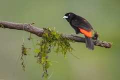 Passerini's Tanager / Roodrugtangare (Wim Hoek) Tags: 2018 tangaren roodrugtangare costarica centralamerica birds outdoor zangvogels december wildlife centraalamerika diereninhetwild passerine passerines passerinistanager ramphoceluscostaricensis scarletrumpedtanager singingbirds songbirds songbird songster tanagers thraupidae vogels sancarlos alajuelaprovince cr