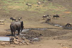 Animals at the Watering Hole (Rckr88) Tags: animals watering hole animalsatthewateringhole krugernationalpark southafrica kruger national park south africa animal nature outdoors wildlife water elephant elephants waterbuck zebras zebra wildebeest