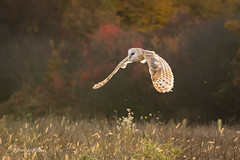 Barn Owl - Late evening haze 501_5436.jpg (Mobile Lynn) Tags: bird barnowl owls nature birds fauna strigiformes tytoalba wildlife nocturnal rimavskásobota banskábystricaregion slovakia sk coth specanimal coth5 ngc npc