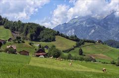 Swiss meadows (jo92photos) Tags: meadow field cows dairy swiss switzerland mountains rural