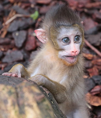 mandrill artis 094A0635 (j.a.kok) Tags: mandril mandrillussphinx mandrill mandrillbaby babymandrill animal artis africa afrika aap mammal monkey primate primaat zoogdier dier
