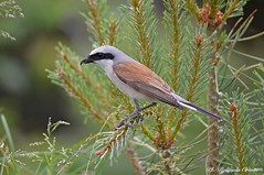 (Rolando CRINITI) Tags: averlapiccola uccelli uccello birds ornitologia avifauna montebaldo natura