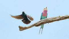 GBE Starling and Roller (0360) (Bob Walker (NM)) Tags: bird greaterblueearedstarling lamprotornischalybaeus fighting coraciascaudatus lilacbreastedroller topselect somalisacamp hwangenationalpark zimbabwe