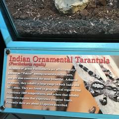 (h2kyaks) Tags: indianornamentaltarantula coconutcreek butterflyworld