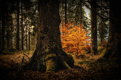 forest series #176 (Stefan A. Schmidt) Tags: german forest tree trees pentaxart smcpentaxfa43mmf19limited