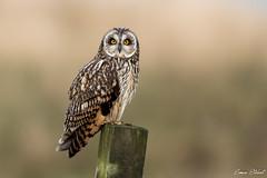 Short Eared Owl (Simon Stobart) Tags: short eared owl asio flammeus perched post north east england uk ngc npc