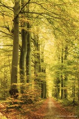 Golden leaves... (crispin52) Tags: herfst autumn forest bos nature nikon