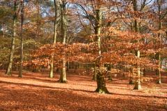 Beech Woodland in Sunlight (daviddaniels989) Tags: beech woodland fagus sylvatica trees leaf litter leaves trunks branches sky blue autumn black carr plantation branton doncaster sunlight