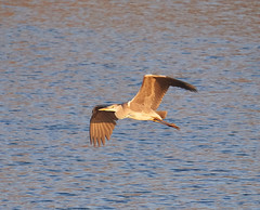 Grey Heron in flight (dougskik) Tags: grey herron bbowt calvert jubilee reserve bird buckinghamshire wildlife ardea cinerea flight