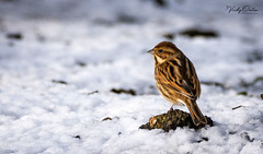 Reed bunting (female) in the snow (vickyouten) Tags: reedbunting nature naturephotography wildlife britishwildlife wildlifephotography nikon nikond7200 nikonphotography sigma sigma150600mmc penningtonflash leigh uk vickyouten