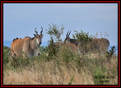 HERD OF ELANDS (Tragelaphus oryx) WITH YELLOW BILLED OXPECKER (Buphagus aficanus).......MASAI MARA....SEPT 2018. (M Z Malik) Tags: nikon d3x 200400mm14afs kenya africa safari wildlife masaimara exoticafricanwildlife ngc npc