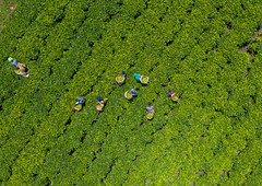 Aerial view of ethiopian people working at green tea plantation, Keffa, Bonga, Ethiopia (Eric Lafforgue) Tags: adults aerialview africa agriculture baskets beautyinnature bonga colourimage day drone eastafrica effort ethiopia ethiopia18dr0118 farmer field fulllength groupofpeople growth harvesting horizontal hornofafrica kaffa keffa labor labour lush men nature outdoors photography pickup pickingup plantation tea teacrop teaplantation women work working et