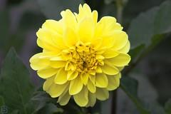 Dahlia (videofotoeventi) Tags: fiori flower natura nature flora lavanda dalia campanula dahlia ortensia